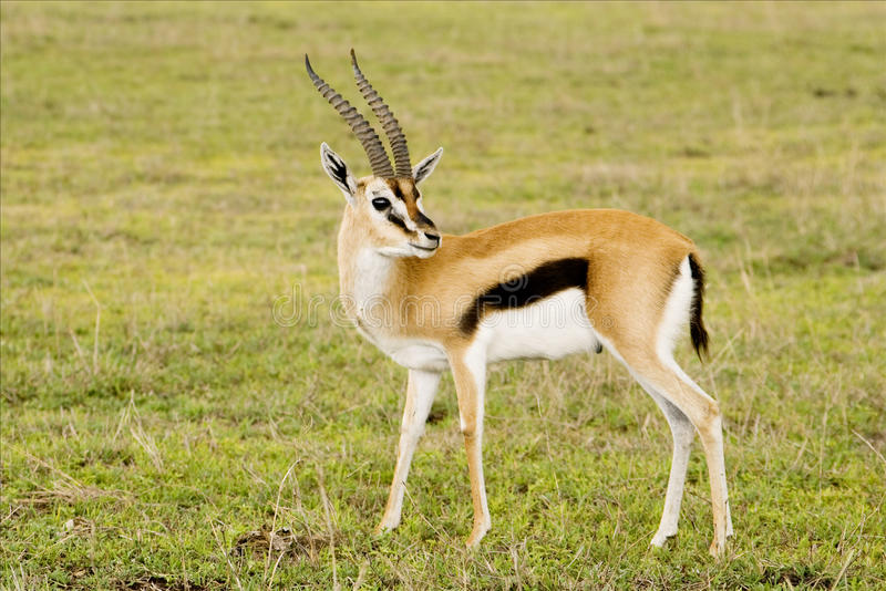 gazelle royalty-vrije stock fotografie