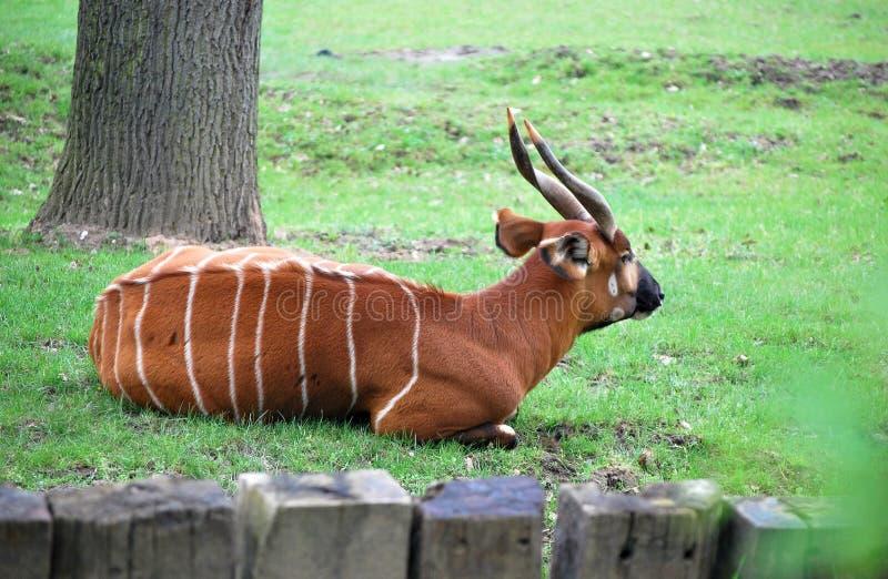 gazelle royaltyfri fotografi