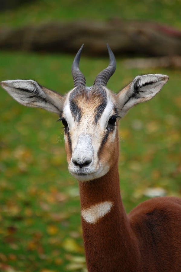 Gazelle alerta rápido do antilope fotos de stock