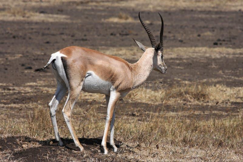 gazelle anslags- s royaltyfri fotografi