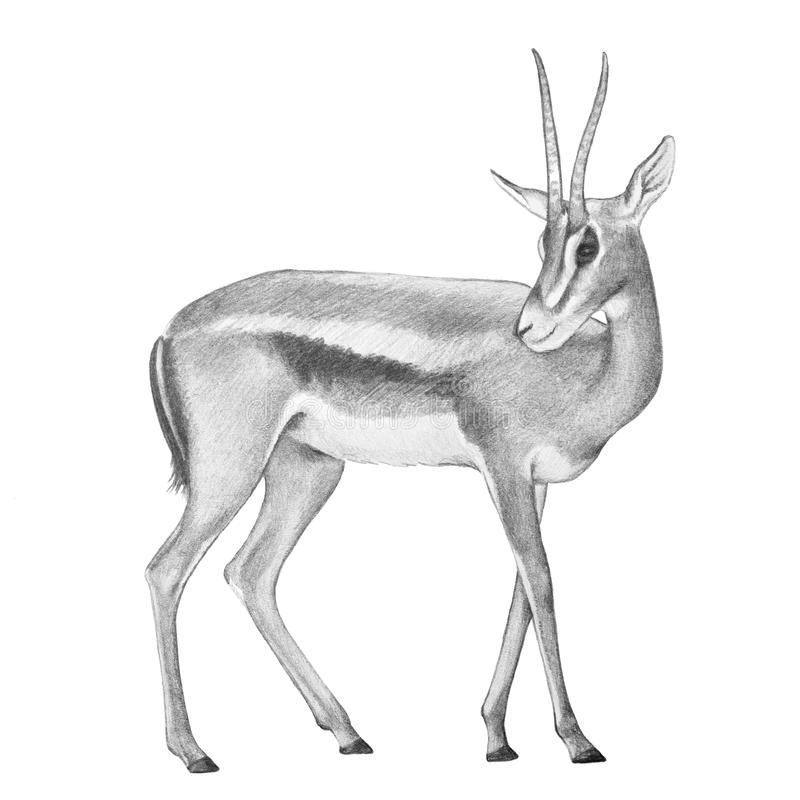 Gazelle antelope illustration, hand drawn gazelle deer vector illustration