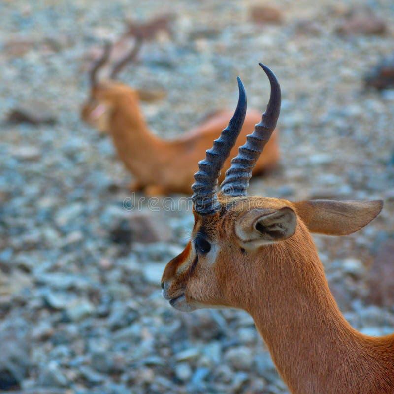 Gazelle arabo fotografia stock libera da diritti