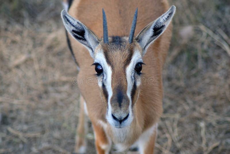 Gazelle d'Addra image libre de droits