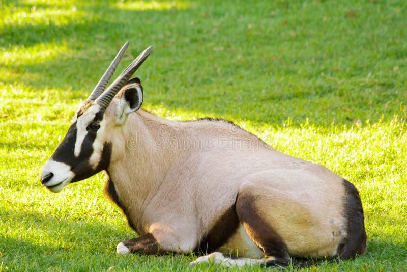 Gazelle d'oryx photo stock