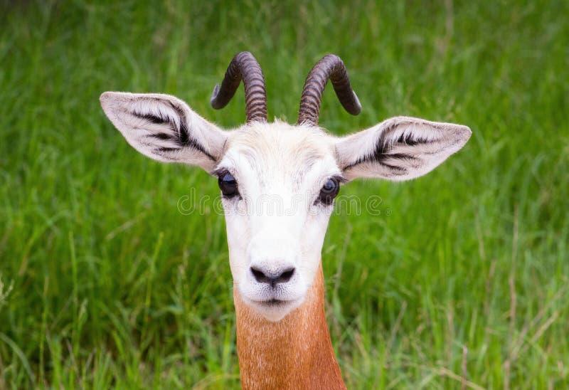 Gazelle de bébé photographie stock