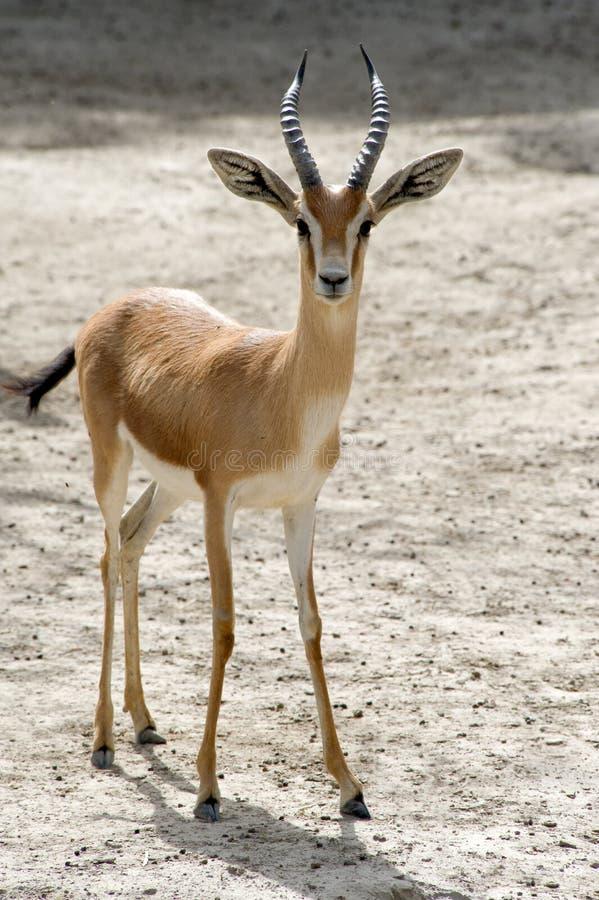 Gazelle de Dorcas imagem de stock royalty free