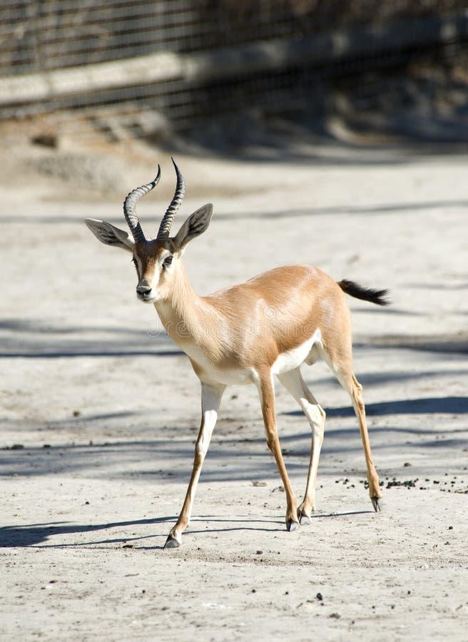 Gazelle de Dorcas imagem de stock