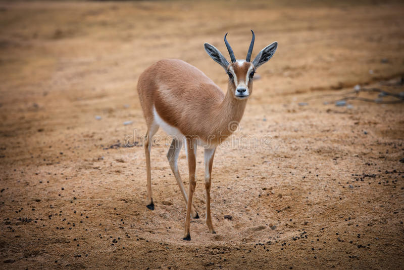 Gazelle de Dorcas foto de stock