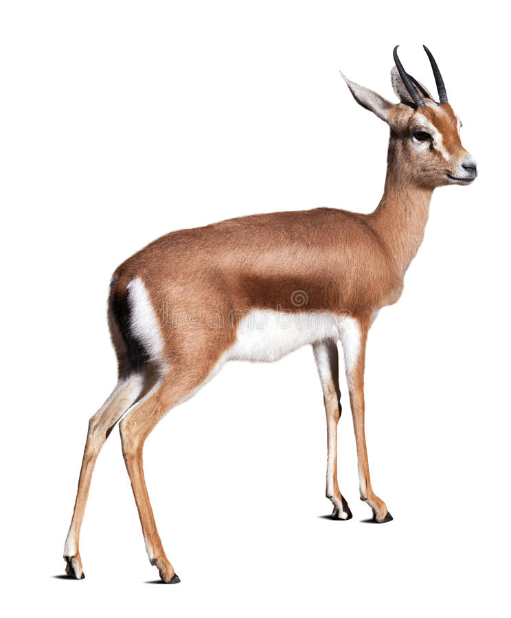 Gazelle de Dorcas Isolado sobre o fundo branco imagens de stock royalty free