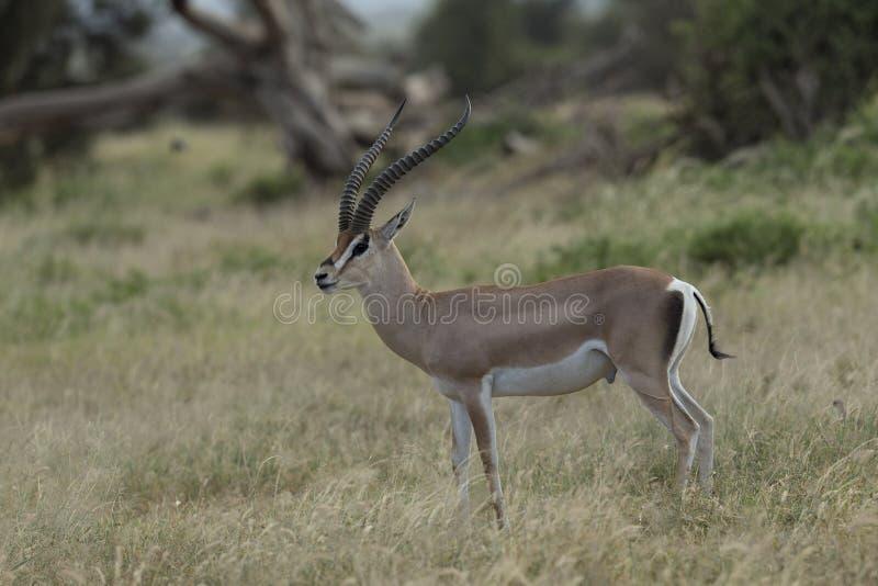 Gazelle de Grands au parc national d'Amboseli photos stock