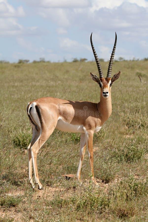 Gazelle de Grant imagem de stock