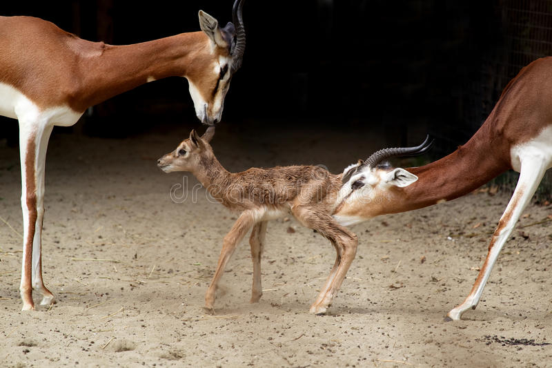 Gazelle de Mhorr fotos de stock