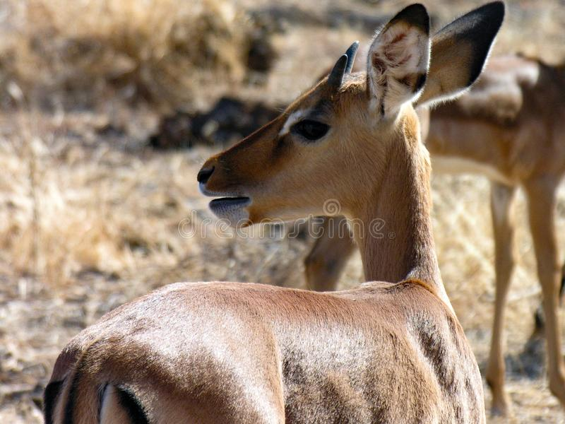 Gazelle, de Nationale Reserve van Samburu, Kenia stock afbeeldingen