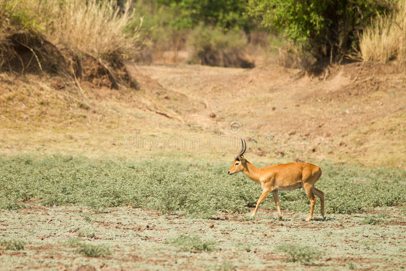 Gazelle de Puku foto de stock royalty free