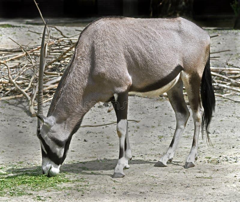 Gazelle de Qryx photographie stock
