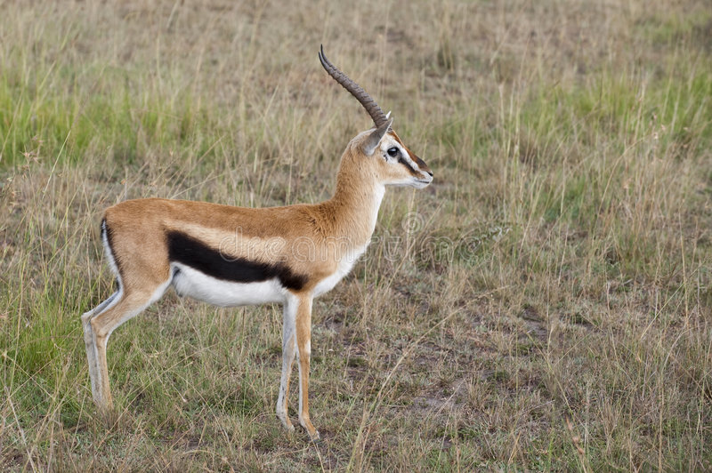 Gazelle de Thompson fotos de archivo