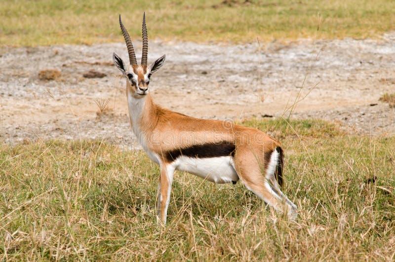 Gazelle de Tompson imagens de stock