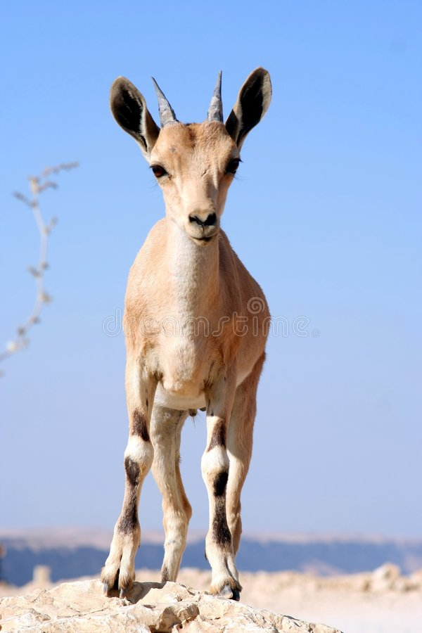 Gazelle of the Desert. Young Male Gazelle of the Desert, Israel royalty free stock image
