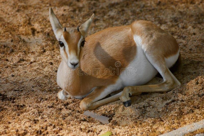 Gazelle die een onderbreking in het zand hebben royalty-vrije stock foto