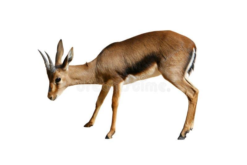 Gazelle die op wit wordt geïsoleerdj stock afbeelding