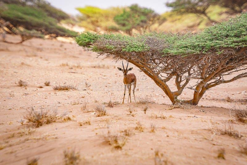 Gazelle die schuilplaats onderaan een Acaciaboom zoeken royalty-vrije stock afbeeldingen