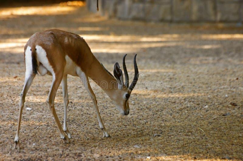 Gazelle die wat voedsel in het zand zoeken stock fotografie