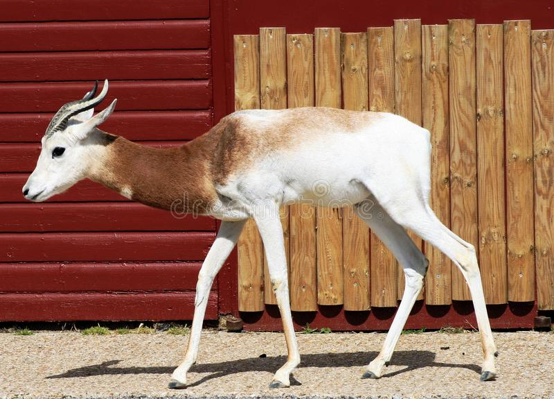 Gazelle do Dama imagem de stock royalty free