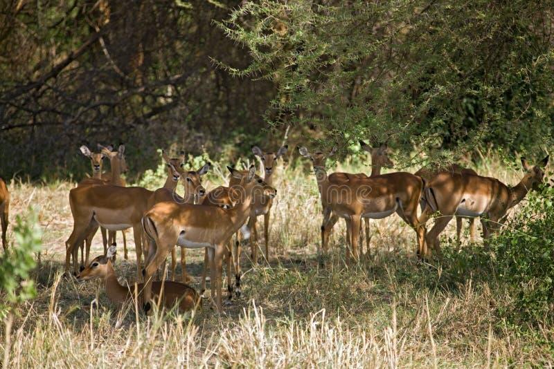 Download Gazelle dos animais 012 foto de stock. Imagem de antílope - 533810