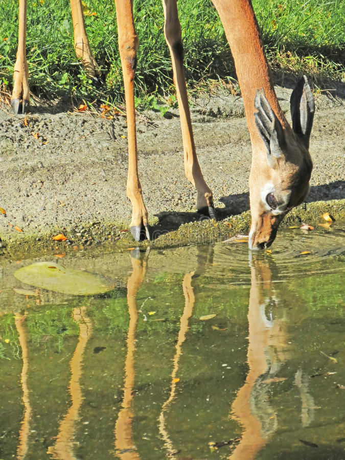 Gazelle Drinking Royalty Free Stock Photography