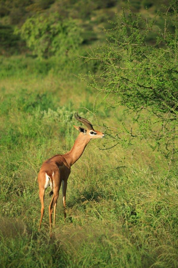 Gazelle eating royalty free stock photos