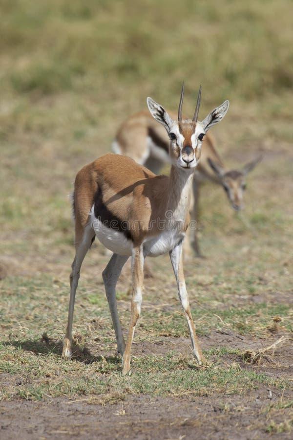 Gazelle i savannahen royaltyfri foto