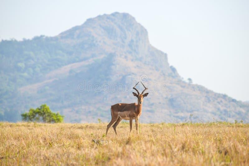 Gazelle i Mlilwane den modiga reserven royaltyfri fotografi