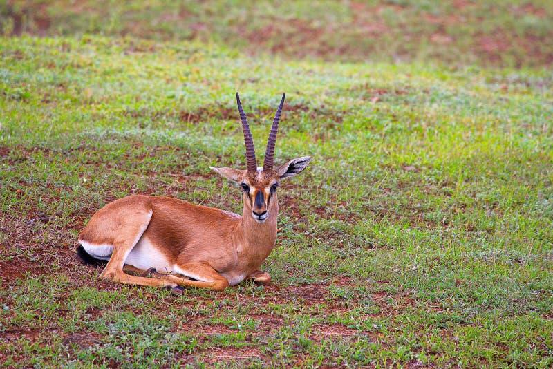 Gazelle indienne, bennettii de Gazella, réserve naturelle de Mayureshwar, maharashtra images stock