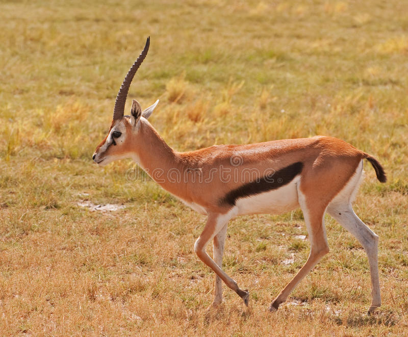 Gazelle, Masai Mara stock images