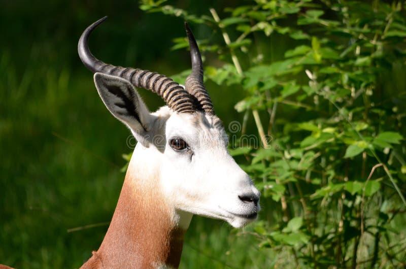 Gazelle masculine d'addra photo libre de droits