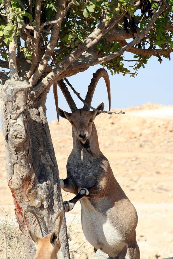 Gazelle masculino do deserto fotos de stock