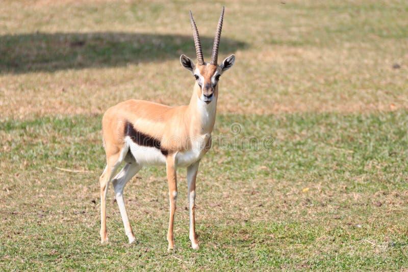 gazelle op gras stock fotografie