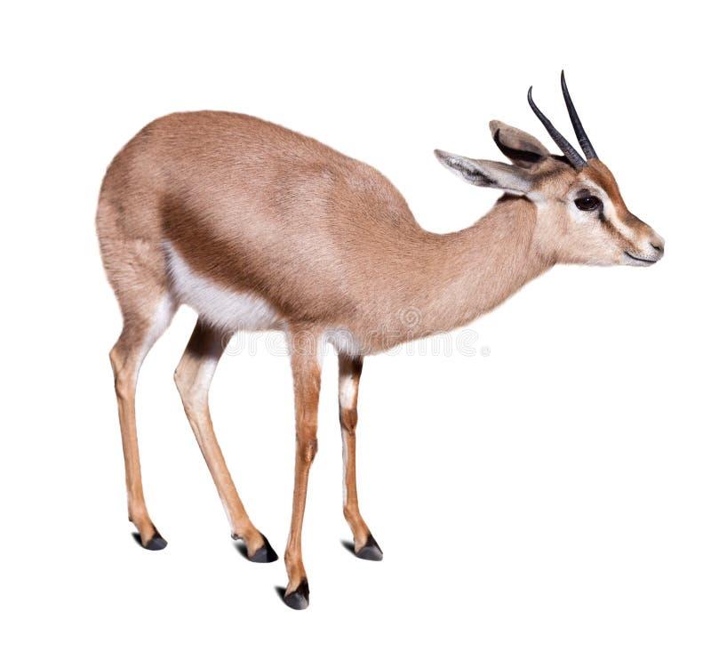 Gazelle over white background royalty free stock photography