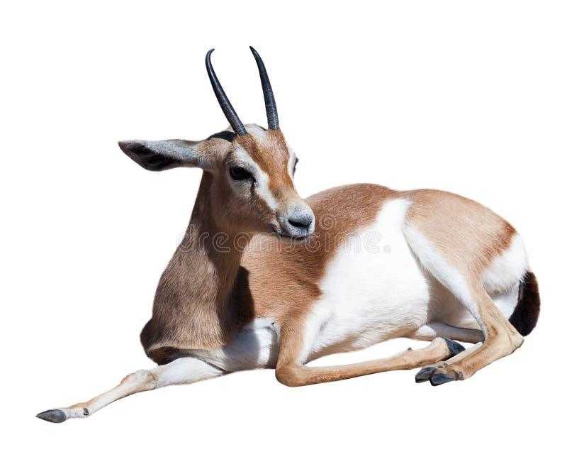 Gazelle Saharian dorcas. Isolated over white stock photos