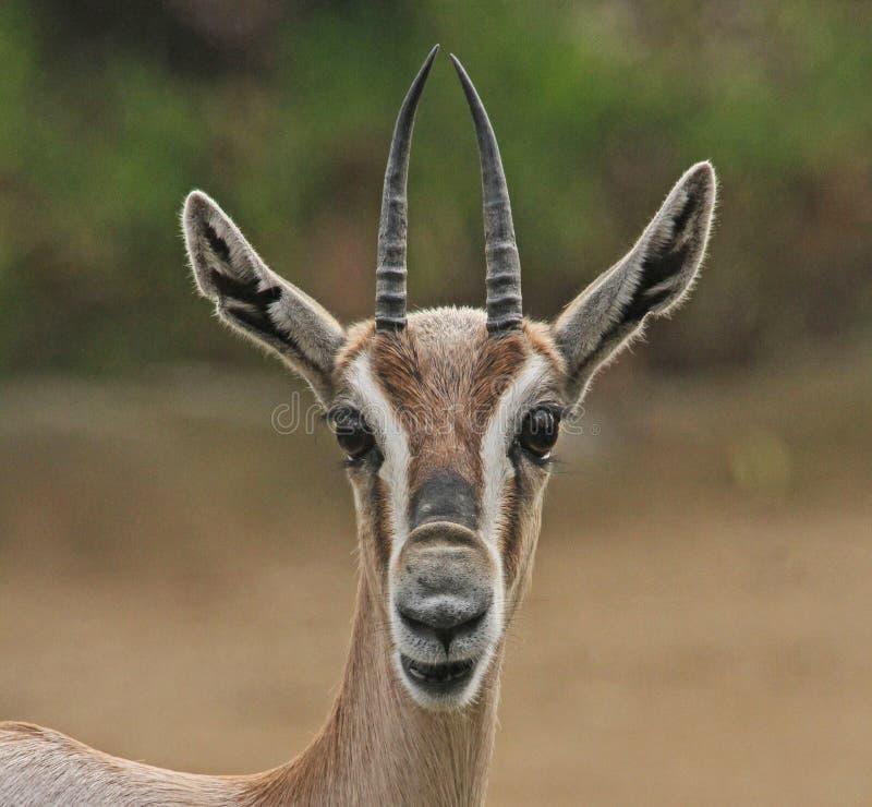 Gazelle. Speak's Gazelle Antelope Close Up Portrait royalty free stock photography
