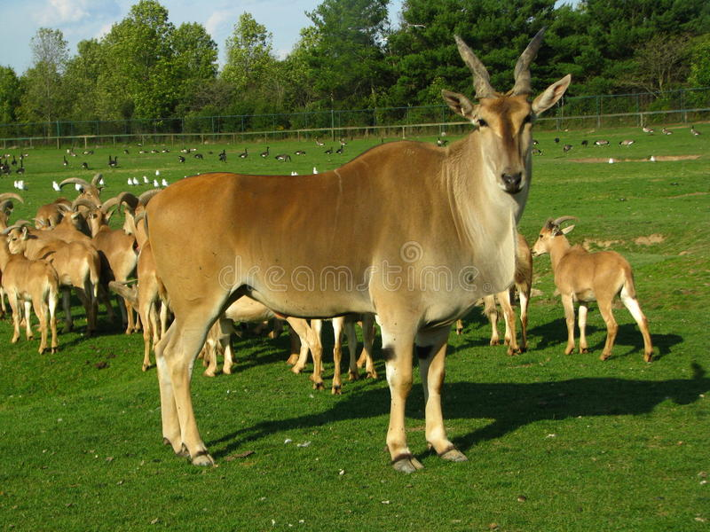 Gazelle standing with the herd stock photography