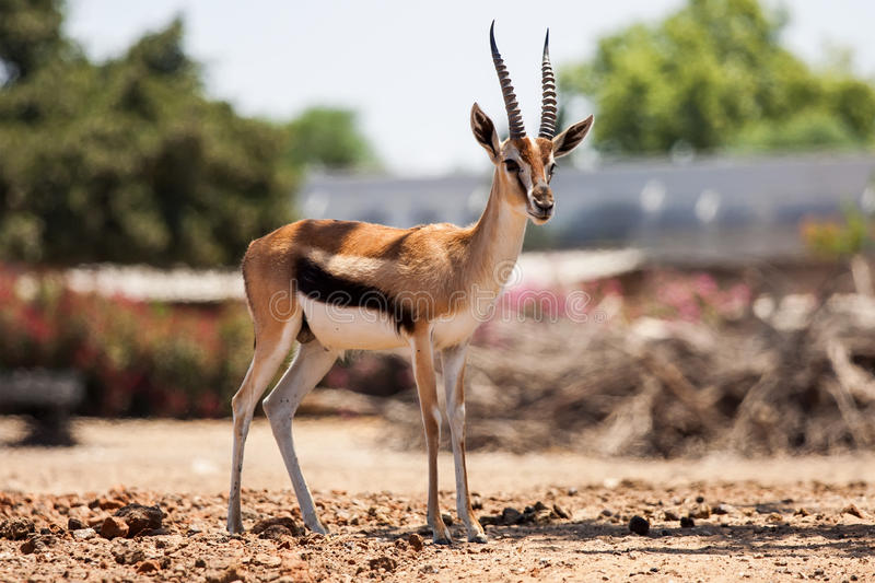 Gazelle Thomson. A graceful small Gazelle Thomson stock images