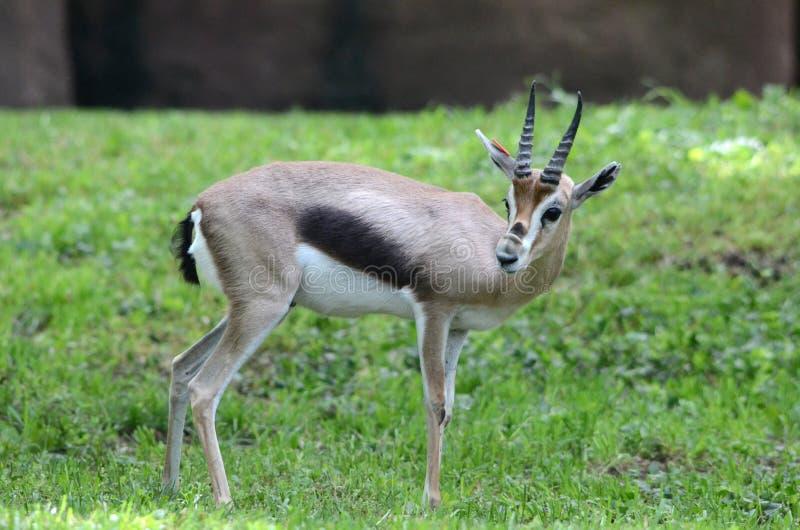 gazelle2 speke s fotografia stock