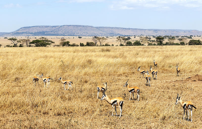 Gazellen auf dem Grasland von Tansania lizenzfreie stockbilder