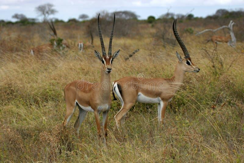 gazelles επιχορήγηση στοκ εικόνες
