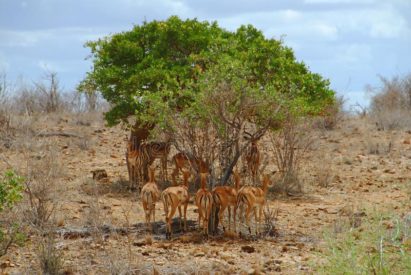Download Gazelles stock image. Image of earth, animals, wild, relaxing - 10354383