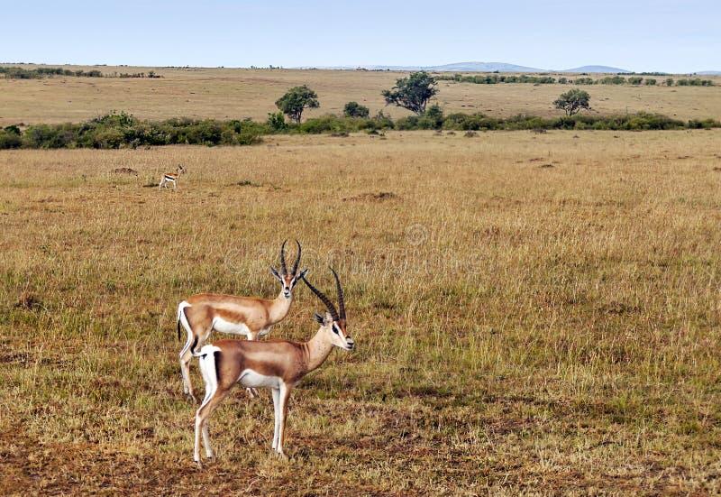 gazelles arkivfoton