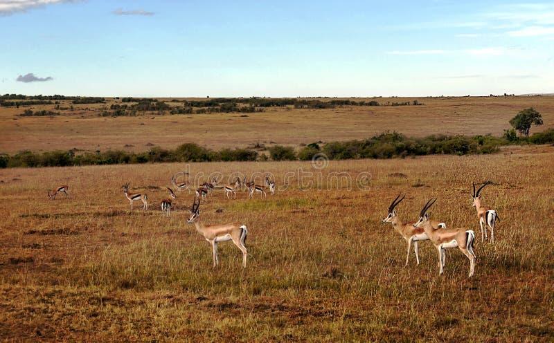 gazelles arkivbild