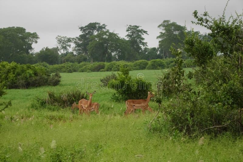 gazelles fotografia de stock