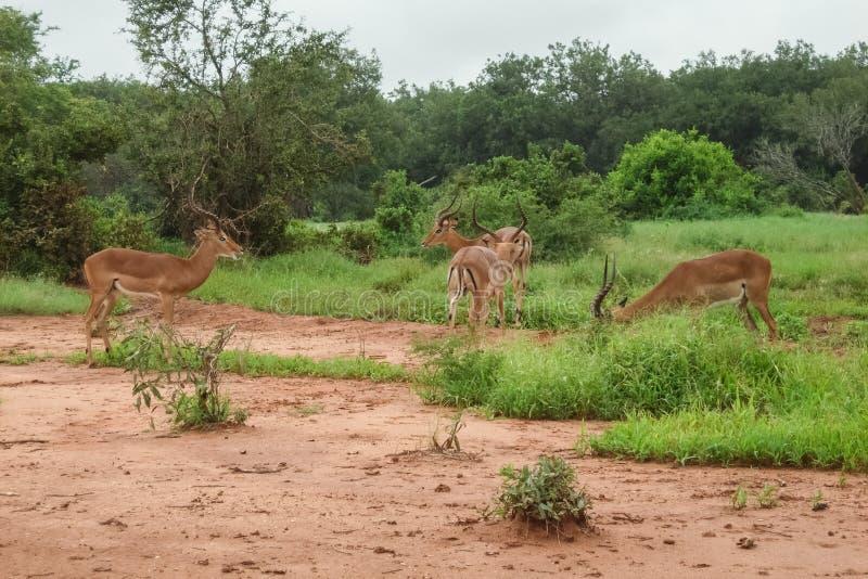 gazelles foto de stock